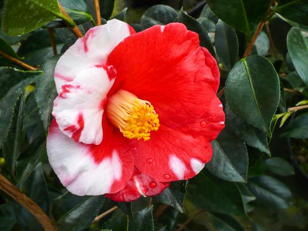 Eine Camellia japonica Robert Lasson Foto: Baumschule Huben